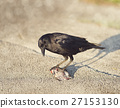 Crow eating a fish 27153130