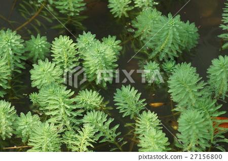 大聚藻 27156800
