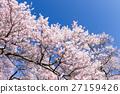 櫻花 櫻 賞櫻 27159426