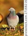 Pigeon Columba livia 27168216