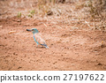 European roller with a Dung beetle kill. 27197622