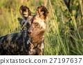Starring African wild dog. 27197637