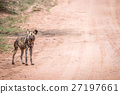 African wild dog standing in the road. 27197661