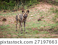 African wild dog standing in the grass. 27197663