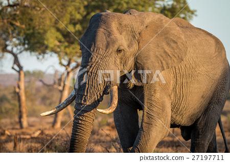 Big Elephant bull walking in the bush. 27197711