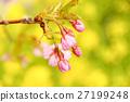 카와 벚꽃 봉오리 27199248