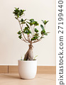 Bonsai ginseng or ficus retusa 27199440