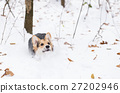 Dog is running on snow in the pine forest. 27202946