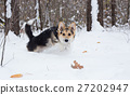 Dog is running on snow in the pine forest. 27202947