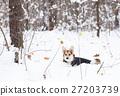 Pembroke welsh corgi in the winter forest. 27203739
