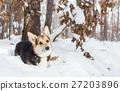 Pembroke welsh corgi in the winter forest. 27203896