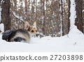 Pembroke welsh corgi in the winter forest. 27203898
