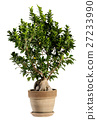 Ginseng Ficus Bonsai Tree on Brown Pot 27233990