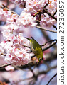 winter, cherry, blossoms 27236057