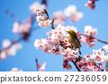 winter, cherry, blossoms 27236059
