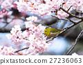 winter, cherry, blossoms 27236063