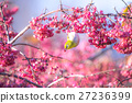 마유미의 열매를 먹고 온 동박새 27236399
