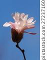 玉兰 星玉兰 花朵 27237160