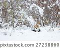 Pembroke welsh corgi in the winter forest. 27238860
