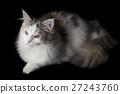 แมว,สัตว์,ภาพวาดมือ สัตว์ 27243760