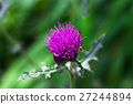 Pink milk thistle flower in bloom 27244894