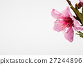 Pink plum blossom flower in a studio  27244896