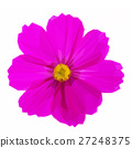 Cosmos pink flowers 27248375