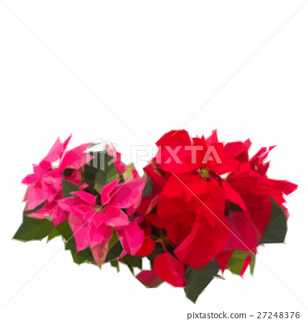 pink and red poinsettia flowers or christmas star 27248376