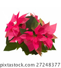 garden with poinsettia flowers or christmas star 27248377