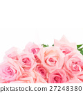 Pink blooming roses 27248380