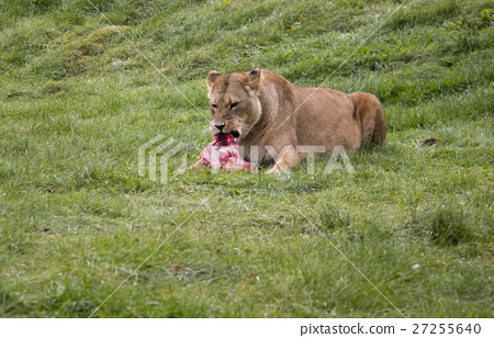 Lioness eating its prey 27255640
