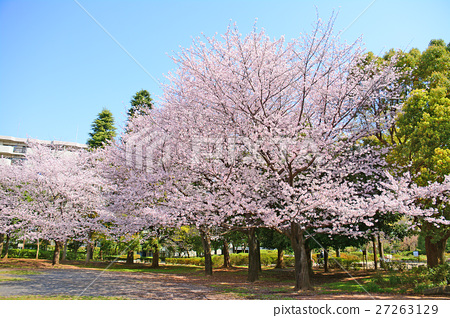 Nerima Ward Summer clouds cherry blossoms in the park 27263129