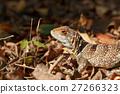 collared, madagascar, lizard 27266323