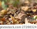 collared, madagascar, lizard 27266324