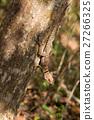 collared, madagascar, lizard 27266325