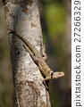 lizard, animal, tree 27266329