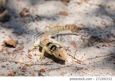 collared iguanid lizard, madagascar 27266332