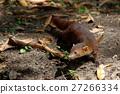 elegans, galidia, mongoose 27266334