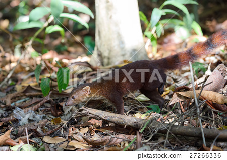 Ring-tailed mongoose (Galidia elegans) Madagascar 27266336