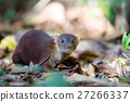 animal, mongoose, forest 27266337