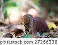 elegans, galidia, mongoose 27266338