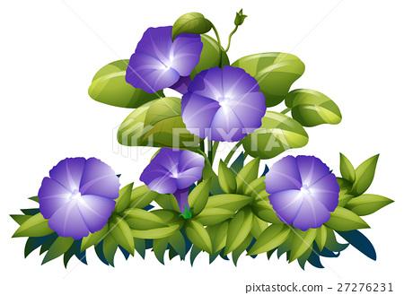 Purple morning glory in the bush 27276231