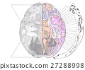 brain, anatomy, vector 27288998