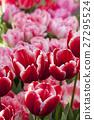 ดอกทิวลิป 27295524