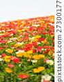 poppy, bloom, blossom 27300177