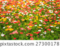 poppy, bloom, blossom 27300178