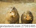 北美的草原土撥鼠 栗鼠科 栗鼠 27301485