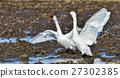白鳥誰搖擺 27302385