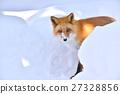 蝦夷紅狐狸 狐狸 哺乳動物 27328856