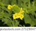 油菜花 强奸的花朵 花椰菜和芥蓝的杂交品种 27329047